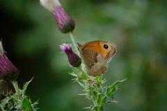 Brown anaranjado británico pequeño Heath Butterfly Fotos de archivo