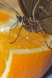 Brown And Red Butterfly Feasting On An Orange Stock Photos