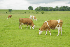 Free Brown And White Cow On Farmland. Royalty Free Stock Photography - 23148347