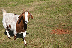 Brown And White Goat Royalty Free Stock Image