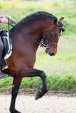 Brown andalusian horse Stock Photo