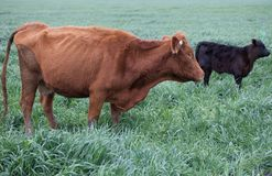 Brown Angus cattle with black calf Royalty Free Stock Photos