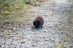 Brown Animal on Brown Rock Pathway Stock Image
