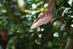 Brown Anole Photos libres de droits