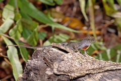 Brown Anole. On a small log royalty free stock photo