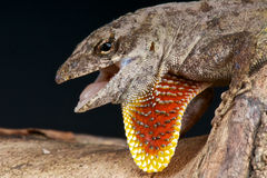 Brown anole. The Brown Anole (Anolis sagrei) is a lizard native to Cuba and the Bahamas. It has been widely introduced elsewhere, and is now found in Florida and Royalty Free Stock Photos