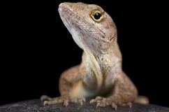 Brown anole Anolis sagrei Royalty Free Stock Photography