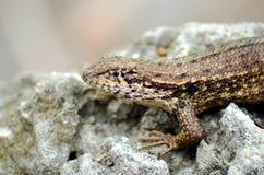 Brown Anole Anolis sagrei lizard on the rock. Brown Anole Anolis sagrei lizard resting on the rock - Florida, USA stock photography