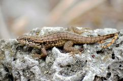 Brown Anole Anolis sagrei lizard on the rock. royalty free stock photos
