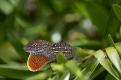 Brown anole Anolis sagrei with Orange Dewlap on a Coontie Bush. Brown Anole Anolis sagrei Sunning on the leaf of a Coontie Plant Zamia integrifolia Showing royalty free stock photography