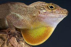 Brown Anole / Anolis sagrei Royalty Free Stock Photo