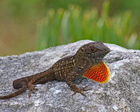 Brown anole dewlap. Brown anole lizard showing displaying bright orange dewlap. Only male anole lizards puff out their throat fan other wise known as the dewlap stock images