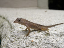 Brown anole in Florida Royalty Free Stock Images