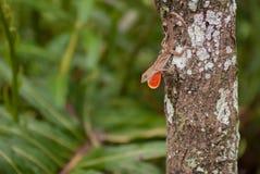 Brown Anole jaszczurka na drzewie Zdjęcie Royalty Free
