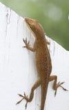Brown Anole Jaszczurki Obsiadanie na Biały Ogrodzeniu Fotografia Royalty Free