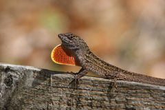 Brown Anole Lizard. A Brown Anole lizard displaying it's red pouch Stock Photography