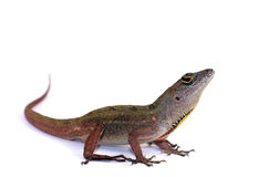 Brown anole lizard. Brown anole (Anolis sagrei) against white background stock image