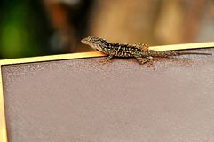 Brown anole lizard (Anolis sagrei) Stock Image