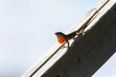 Brown Anole lizard Anolis sagrei with a red orange dewlap displayed. On a post of wood in Naples, Florida stock photo
