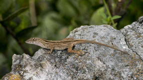 Brown anole. Lizard (Anolis segrei) in a natural environment royalty free stock photography