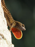 Brown Anole Lizard Bright Orange Neck Dewlap Displayed. Male Brown Anole lizard on tree displaying extended bright orange neck dewlap Stock Images