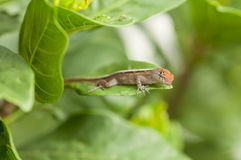 Brown Anole lizard. Close up of a Brown Anole lizard on a leaf Royalty Free Stock Photos