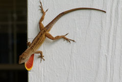 Brown anole lizard with dewlap. Brown anole lizard on fence post expressing red throat fan or dewlap Stock Photography