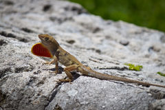 Brown Anole lizard displaying its dewlap. A brown Anole lizard sitting on rock displaying its dewlap royalty free stock image