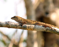 Brown Anole lizard. S are very common in Florida and found pretty much everywhere. This one was trying to blend in on a branch in plain sight Stock Photos