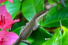 Brown Anole Lizard. Brown Anole - Anoles sager - is the most common lizard found in the islands of Hawaii on Kauai, Oahu, Maui and the Big Island. It seems to be royalty free stock photo