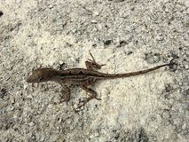 Brown Anole Lizard in Miami. Stock Photography
