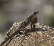 Brown Anole Lizard with Orange Throat Fan Royalty Free Stock Photos