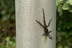 Brown anole lizard Royalty Free Stock Images