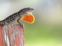 Brown Anole Lizard Puffed Up Red Pouch to Warn Passerby Stock Photos