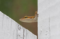 Brown Anole Lizard Sitting on a White Fence Royalty Free Stock Image