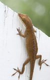 Brown Anole Lizard Sitting on a White Fence. Brown Anole Lizard Sitting on a Backyard White Fence royalty free stock photography