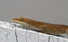 Brown Anole Lizard Sitting on a White Fence. Brown Anole Lizard Sitting on a Backyard White Fence royalty free stock photos