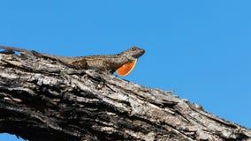 Brown Anole Lizard On A Tree, Tavernier, Key Largo, Florida Stock Photography