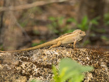 Brown Anole Royalty Free Stock Image