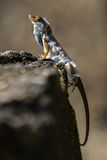 Brown Anole shredding his skin Stock Photo