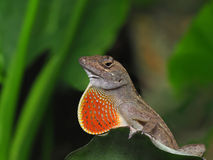 Brown Anole with Throat Fan Expanded Royalty Free Stock Photos