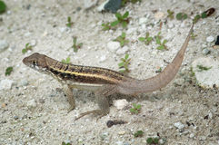 Brown anole, turks and caicos Stock Photography