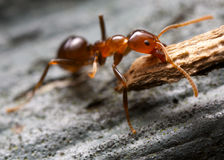 Brown Ant. Ant lifting a piece of bark Royalty Free Stock Image