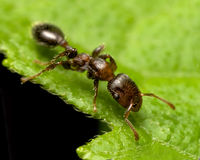 Brown ant. A brown ant walking on a green leaf Stock Image