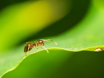 Brown Ant Stock Photo