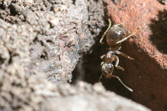 Brown ant. Macro view of brown ant on red brick Royalty Free Stock Photography
