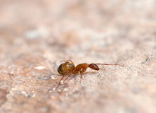 Brown ant on the rock. Macro view Royalty Free Stock Photos