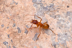 Brown ant on the rock. Macro view Stock Photo