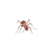 Brown ant on a white background Stock Photos