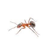 Brown ant on a white background. Brown ant isolated on a white background Royalty Free Stock Image